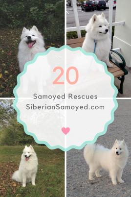 find-a-samoyed-breeder-1
