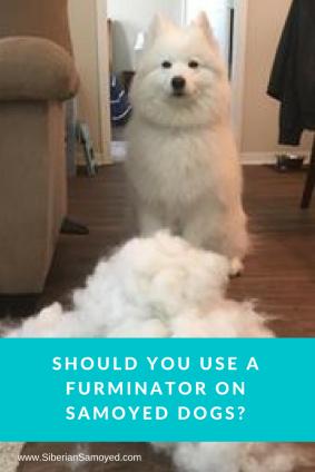 Should you use a furminator on samoyed dogs_